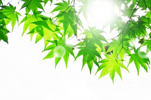 もみじ モミジ 楓 かえで 枝 和 和風 涼 日本 新緑 葉 木漏れ日 若葉 青葉 壁紙 素材 キラキラ 爽やか さわやか 明るい イメージ 庭 光 5月 6月 涼しい 涼しげ 涼感 清涼感 ソフト 葉っぱ 木の葉 はっぱ 小枝 自然 木 樹木 植物 グリーン 森林浴 いやし リラックス リラクゼーション やすらぎ 安らぎ マイナスイオン 健康 背景 背景素材 テクスチャ テクスチャー 夏 緑 春 初夏 癒し きらめき キラメキ 優しさ やさしい 優しい 揺らぎ 風 空気 そよ風 バックイメージ バックグラウンド