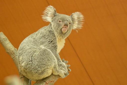 コアラ こあら 子守熊 動物 生き物 かわいい 灰色 陸上動物 オーストラリア 草食動物 有袋類 ユーカリ 木登り 恒温動物 動物園 野生 眠る 睡眠 毛 フワフワ 単独性 樹上生活 薄明薄暮性 袋 癒し
