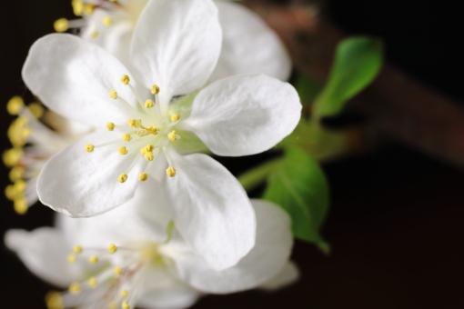 林檎 りんご 花 植物 花粉 果物 果樹 白 横位置 余白 春