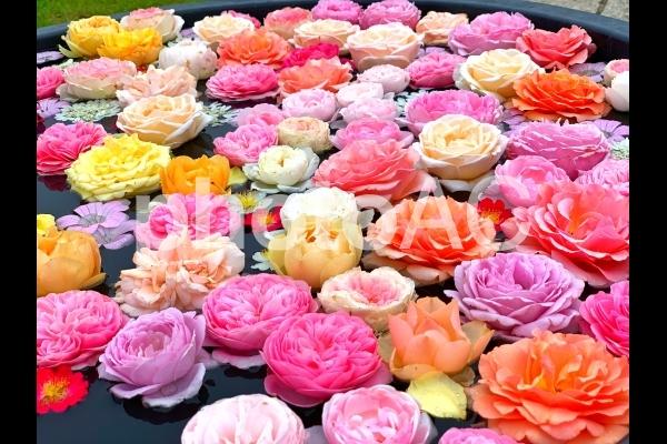 水面に浮かぶたくさんの花の写真
