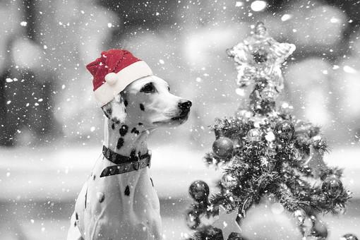 サンタ帽をかぶったダルメシアンの写真