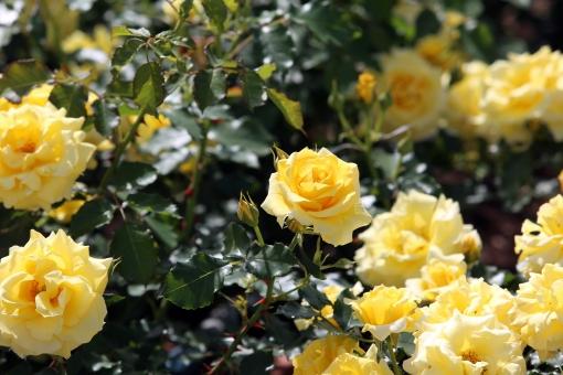 黄色いバラ 花 バラ 黄 バラ園 薔薇園 ばら園 黄色いばら 黄色い花 黄色い 黄色い薔薇 バラ科 黄色 薔薇 植物 園芸 花壇 ばら ガーデニング