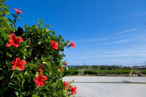 沖縄 おきなわ 沖縄県 okinawa 植物 花 赤 赤色 ハイビスカス 緑 緑色 自然