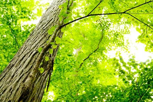 木 巨木 大木 ツリー 植物 森 緑 山 山中 森林 根 静 大きな木 自然 枝 葉 グリーン 北海道 日本 さわやか 爽やか 光 まぶしい 眩しい エコ eco 森林浴 屋外 壁紙 背景 背景素材 バックグラウンド 環境 初夏 葉っぱ 明るい 木漏れ日 こもれび