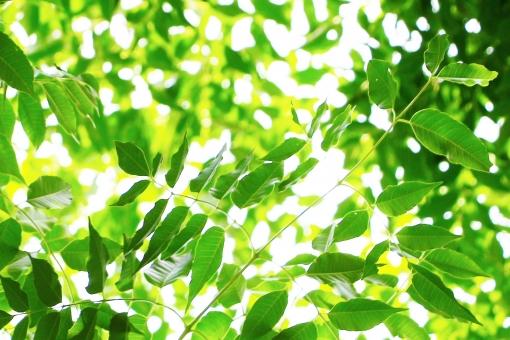新緑 青葉 若葉 葉っぱ 葉 たくさん 小枝 グリーン 緑 緑色 リーフ leaf 黄緑 黄緑色 光 爽やか 清々しい 生き生き 癒し 憩い 若々しい 植物 自然 風景 背景 壁紙 テクスチャ