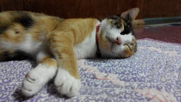 ねこ ネコ 猫 ネコの寝顔 ねこの寝顔 猫の寝顔 寝顔 睡眠 すやすや スヤスヤ 寝息 いびき イビキ 酔っぱらい 健やか 安心 安全 幸福 幸せ ペット 猫の写真 ねこの写真 ネコの写真 ねこあつめ 睡眠時間 健康的 健康の秘訣 休む 休める 安らか