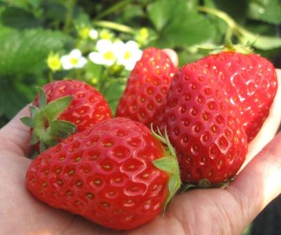 いちご 苺 イチゴ いちご狩り 春 赤いイチゴ いちごの花