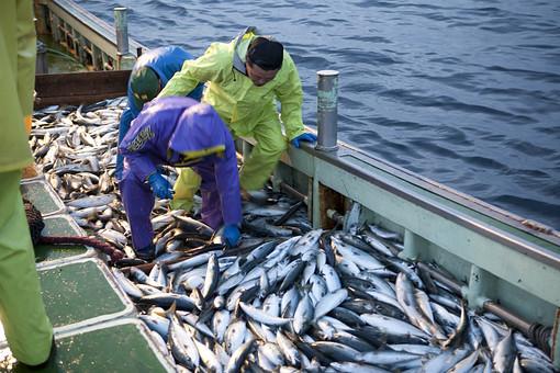 屋外 野外 漁 海上 漁獲 漁り 魚 獲る 漁業 海 水揚げ 大量 大漁 釣り 漁獲 早朝 船 船上 漁船  網 引き揚げ 捕獲 人 人物 漁師