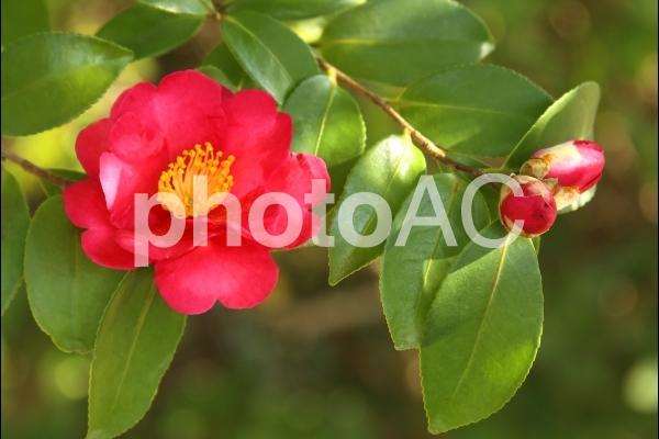 カンツバキ 花とつぼみの写真