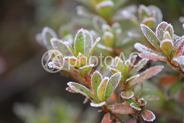 霜が降りた草木3の写真