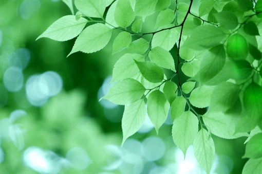 自然 風景 植物 樹木 木の葉 葉っぱ 緑の葉っぱ 夏 夏の木 初夏 新緑 若葉 新芽 みずみずしい木の葉 木漏れ日 木陰 涼し気な 季節感 背景 テクスチャー 暑中見舞い ポストカード 森 コピースペース 待ち受け画像 バックスペース 野外アウトドア 森林 公園 植物園 光を浴びて 光透過光 爽やかイメージ 癒しの森 マイナスイオン 五月の風景