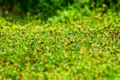 新緑 しんりょく 3月 4月 5月 6月 葉 葉っぱ 緑 黄緑 みどり きみどり 自然 綺麗 爽やか 見上げる 人気 植物 樹木 新鮮 森 林 公園 グリーン 暖かい 季節 若草色 若葉 木洩れ日 木漏れ日 こもれび 明るい 気分 最高 気持ちが良い 空気 クリーン 森林浴 背景 テクスチャ 壁紙 バックグラウンド ヒーリング リラックス マイナスイオン 初夏 リラクゼーション セラピー エコ eco 小さな花 黄色い花 ミニチュア風 可愛い かわいい 花 小花 黄色 小さい 雑草 陰 かげ 影 木陰 涼しい 接写 アップ 至近距離 癒し 春 夏 秋