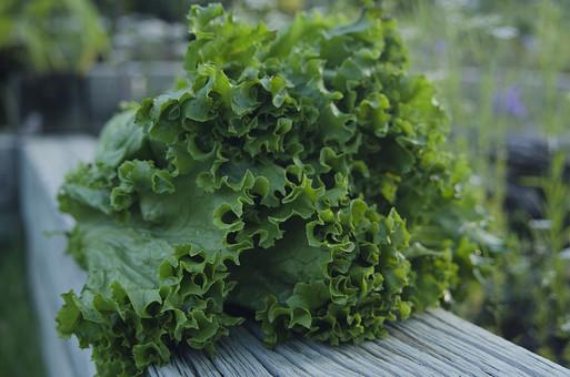 レタス 葉レタス 葉物野菜 緑 サラダ 生野菜 植物 野菜 食料品 食品 食べ物 食べる 健康 フレッシュ 新鮮 自然 ダイエット 食材 農業 収穫 栄養 葉 食物繊維 屋外 外 テラス
