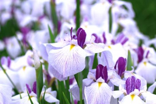 菖蒲 あやめ アヤメ 白 紫 花 6月 六月 名所 見ごろ 端午の節句 綾目 花菖蒲 ハナショウブ ショウブ アイリス