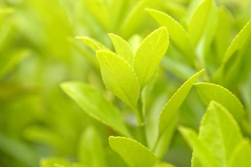 新緑 春 植物 樹木 木 葉 グリーン 緑 芽生え 育つ 伸びる さわやか 明るい やさしい 背景 背景素材 テクスチャー テクスチャ