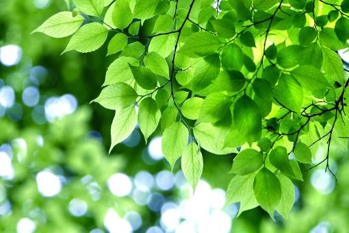 自然 風景 植物 樹木 木の葉 葉っぱ 緑の葉っぱ 新緑 若葉 新芽 初夏イメージ 初夏 夏 木陰 木漏れ日 光 光透過光 涼風 季節感 暑中見舞い ポストカード 待ち受け画像 コピースペース バックスペース 四月・五月 六月・七月・八月 爽やかイメージ みずみずしい 背景 野外アウトドア テクスチャー すがすがしい