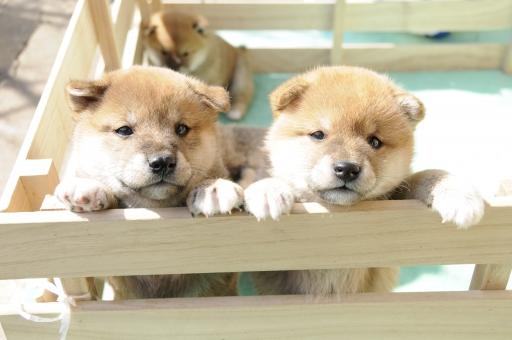 柴犬 仲良し 子犬 犬 赤ちゃん 信州柴 子供 日向ぼっこ