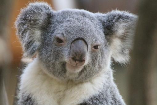 優しいまなざしのコアラ