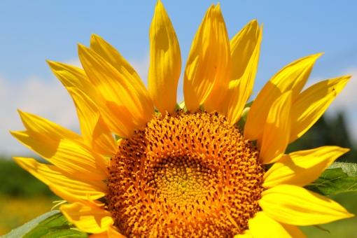 ひまわり ヒマワリ 向日葵 植物 夏 花 黄色 空 法律 司法 弁護士 人権 夏休み 油 映画 福祉 介護 余白 横位置 油彩