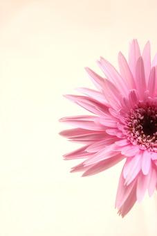 花     植物     ガーベラ     咲く    ピンク     一輪     パステルカラー     満開        花びら        正面 マクロ アップ 半分 コピースペース
