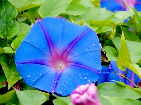 アサガオ 朝顔 あさがお 青 紫 きれい 美しい 朝 水玉 水滴 雨 梅雨 夏 夕立 濡れる