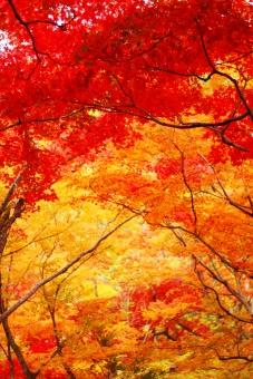 秋 11月 十一月 もみじ モミジ 楓 かえで カエデ 真っ赤 赤 紅葉 真紅 燃え上がる 燃え上がるような きれい 紅葉狩り たて 縦 トンネル オレンジ
