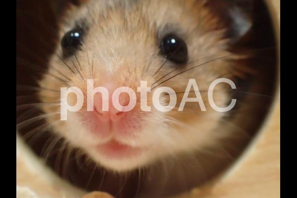 ゴールデンハムスター(子供)の写真