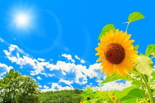 太陽とひまわりの写真