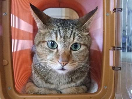 猫 ねこ ネコ 座り込む キャリーバッグ キャリーケース ペット 目を開けた 表情 顔 アップ 入った 病院 お散歩 くつろぐ 準備オッケー 準備万端 家猫 飼い猫 室内ネコ 動物 生き物 ちゃこ