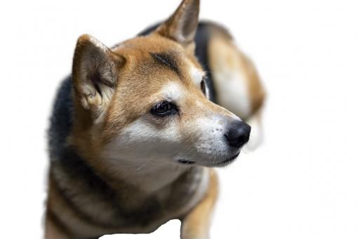 見つめる犬の写真