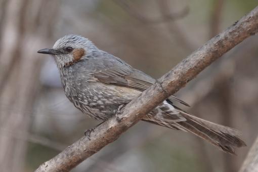 かわいい 屋外 自然 動物 哺乳類 冬 鳥 日本 野生 野鳥 季節 小鳥 鳥類 一羽 アジア 野生動物 陸上動物 北海道 スズメ目 四季 ヒヨドリ ヒヨドリ科 十勝 鵯 ひよどり