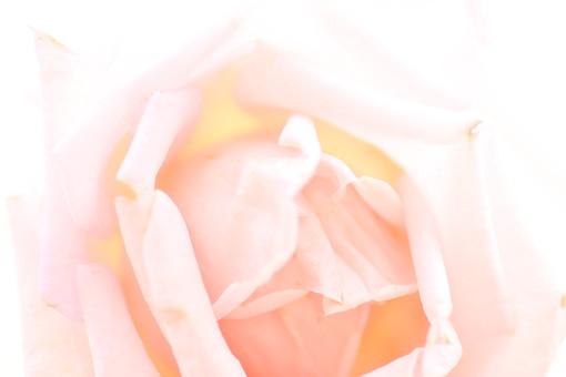 自然 環境 かわいい 小さい 春 夏 季節 植物 美しい きれい シルエット 花 つぼみ バラ ピンク プレゼント 繊細 アレンジメント 薄い 記念 ガーデニング 花束 アップ ピント 大切 薔薇
