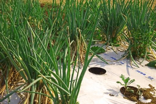 ネギ畑 葱畑 ねぎ畑 ねぎ 葱 ネギ 野菜 Vegetable マルチ 農業 agriculture 農地 農耕地 耕地 耕作地 農作物 農産物 風景 景色 自然 nature 植物