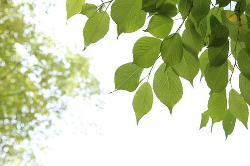 葉 緑  新緑  日本  自然 植物 屋外 壁紙 背景 背景素材 バックグラウンド 光 青空 環境 エコ   さわやか 爽やか 初夏 森 森林 木 スペース  木々 空 葉っぱ