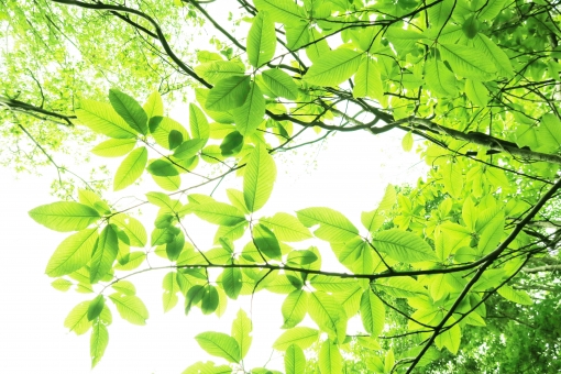 自然 夏 初夏 木洩れ日 木漏れ日 こもれ日 こもれび 緑 グリーン 山 登山 木 樹木 黄緑 光 爽やか 爽快 癒し 葉 輝き 5月 クリーン 空気 クリーンイメージ 透過光 待ち受け ポストカード コピースペース 清潔感 澄んだ空気 若葉 眩しい バックグランド 植物 太陽 日 新緑 明るい 林 葉っぱ 木の葉 木葉 はっぱ 木の枝 小枝 風景 森 エコ エコロジー 環境 eco eco 森林 森林浴 森林セラピー いやし リラックス リラクゼーション やすらぎ 安らぎ マイナスイオン 健康 美容 背景 背景素材 テクスチャ テクスチャー バックグラウンド 3月 4月 5月 6月 7月 8月 春 きらめき キラメキ 優しさ やさしい ソフト