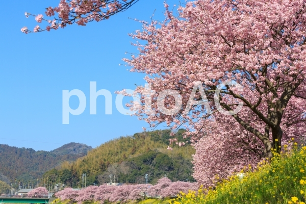 南伊豆町の河津桜の写真