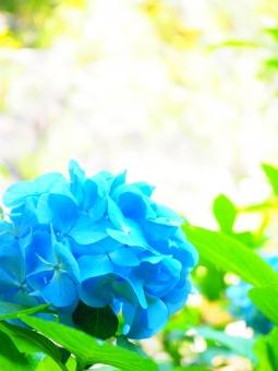 紫陽花 あじさい アジサイ ハガキ 葉書 季節 ポストカード 鮮やか キラキラ 綺麗 キレイ 可愛い かわいい 水色 みずいろ 青 光 太陽光 5月 6月 梅雨 つゆ 初夏