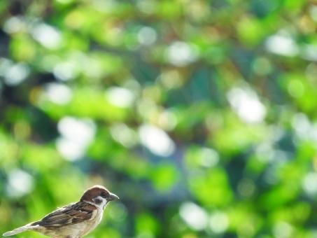 すずめ スズメ 雀 小鳥 野鳥 鳥 とり トリ グリーン 緑 自然 風景 エコ 環境 エコロジー かわいい 動物 観察 背景 バック バックグラウンド 緑の背景 植物 環境問題 ガーデニング 庭 夏 春 新緑 青々とした 清々しい さわやか 爽やか ボケ 玉ボケ