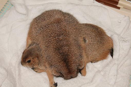 プレーリードッグ ペット 睡眠 かわいい リス科 2匹 生き物 生物 モコモコ 丸まる 可愛い カワイイ 動物園 保護 育てる 飼育 寝る 家族 兄弟 赤ちゃん 茶色 寝床 寄り添う よりそう 寒い さむい 冬 ふゆ