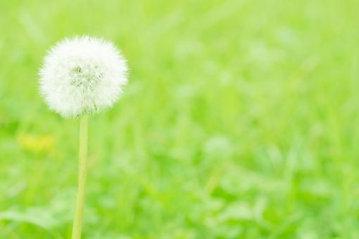 花 植物 春 緑 たんぽぽ タンポポ わたげ 綿毛 草 野原 タネ 種 白 自然 風景 景色 季節 コピースペース 背景 壁紙
