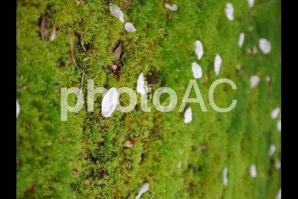 散った桜の花びらの写真