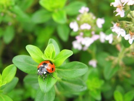 昆虫 てんとうむし テントウムシ 植物 緑 グリーン green 生き物 てんとう虫 天道虫 虫 ナナホシテントウ 自然 nature 葉っぱ 葉 昆虫採集 ネイチャー 生きもの 生物 観察 自然観察