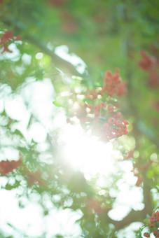 ピラカンサ ピラカンサス 橘擬 常盤山櫨子 バラ科 トキワサンザシ属 トキワサンザシ タチバナモドキ カザンデマリ 常緑低木 庭木 花木 果実 赤い実 空 見上げる 日差し 太陽 綺麗 可愛い ガーデニング 秋 鑑賞 自然 風景 景色 トイフォト トイカメラ ボケ味