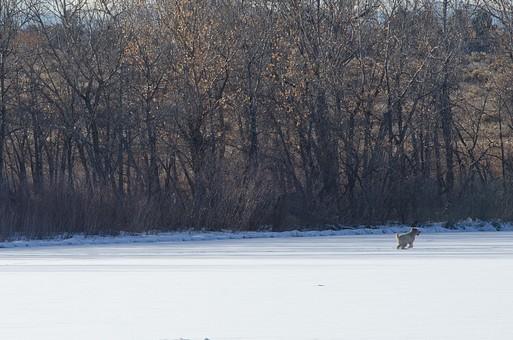 外国 海外 屋外 外 野外 風景 景色 冬 自然 冬景色 雪 雪景色 雪原 平原 大地 樹木 木立 動物 いぬ イヌ 犬 ペット 飼い犬 走る 走り回る 遊び 晴れ ひなた 日向 無人