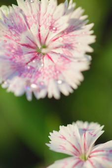 自然 植物 花 花びら 白 ピンク 桃色 雨 雨粒 粒 玉 水玉 朝露 みずみずしい 綺麗 可愛い 美しい 爽やか ギザギザ 成長 育つ 咲く 開花 満開 開く ぼやける ピンボケ 無人 室外 屋外 風景 景色 アップ 幻想的 ナデシコ 撫子