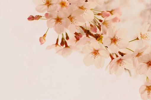 桜 さくら サクラ ピンク 桃色 薄いピンク 淡い 儚い 蕾 つぼみ 春 満開 開花 咲く イメージ セピア風 白背景 白バック もののあわれ 背景 素材 コピースペース 花曇 花 美しい 和む 和風 日本 sakura japan