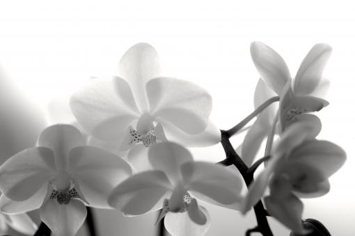 蘭 花びら 透け感 優しい 花 植物 モノクロ 白黒 白 黒 喪中 弔辞 喪中ハガキ 案内状 お悔やみ