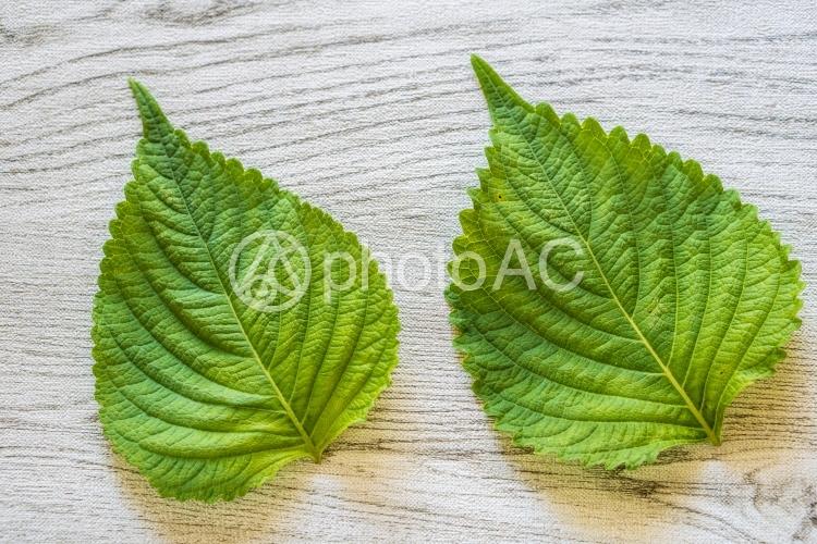 オメガ3がいっぱい!えごまの葉っぱの写真