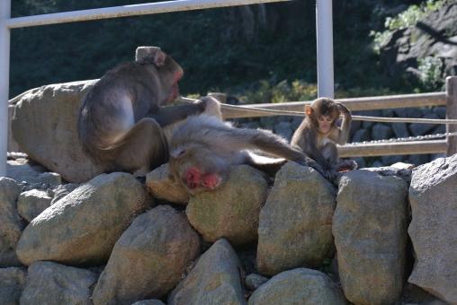 さる 申 猿 サル 家族 親子 小猿 子ザル モンキー ひょうきん かわいい 頭をかく さんぺい ニホンザル monkey japanese japan リラックス