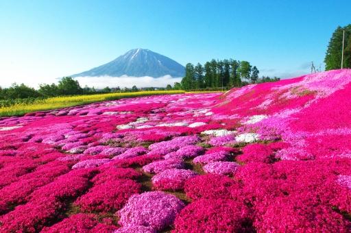 自然 植物 春 満開 晴れ 青空 雲 山 羊蹄山 残雪 雪 観光 華やか 鮮やか 日本 北海道 倶知安 花 芝桜 芝 蝦夷富士 東南アジア 赤 木